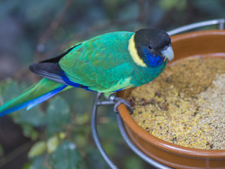 close up exotic colorful black blue green parrot Australian ringneck lorikeet eating feeding from bowl of grain