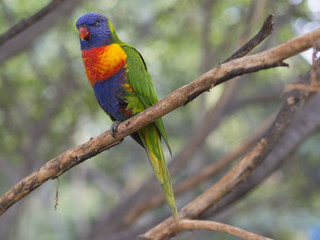 close up exotic colorful red blue green parrot Agapornis lorikeet sitting on the tree branch