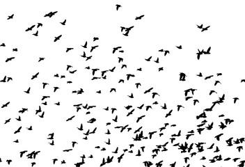 Bohemian waxwing (Bombycilla garrulus) in flight. Vector silhouette a flock of birds