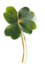 Good luck four-leaf clover on white background