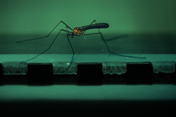 A large mosquito on a blue background in close-up. Macro