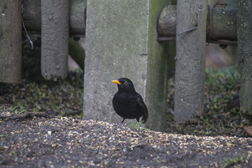 a blackbird with yellow beak sits in front of a fence
