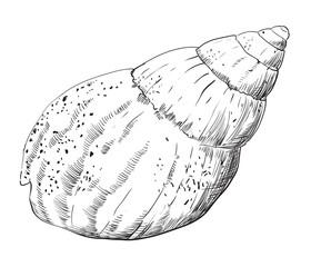 Hand drawing seashell-11