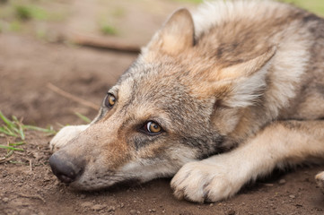 Lazy wolf puppy