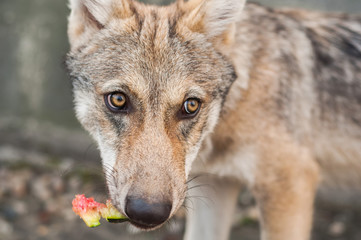Wolf puppy eating