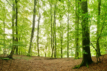 Natural Beech Tree Forest