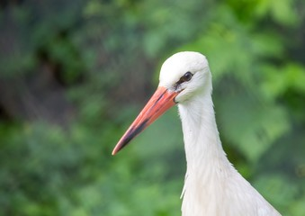 Close up picture of a white stork in Germany