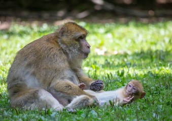 Picture of playing and eating barbary macaques on a meadow during summertime