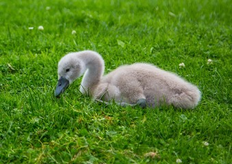 Close up picture of a baby mute swan in Germany
