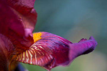 Close-up abstract image of dark-red iris flower