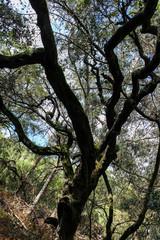 Old oak tree.