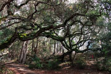 Oak tree reaching branches over a trail.