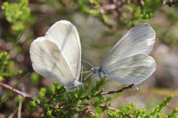 Butterflies On Twig