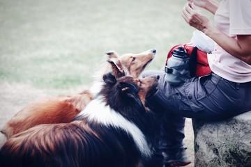 Cropped Image Of Woman Feeding Shetland Sheepdog On Field