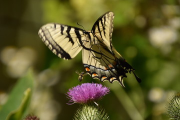 Swallowtail butterfly and Bee Battle for Nectar
