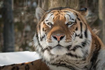 Siberian Tiger - Amur Tiger - Panthera Tigris Tigris - Resting In The Snow