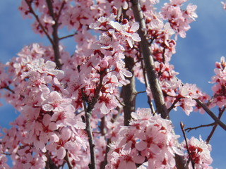 Pink Cherry Blossom Bud Branches