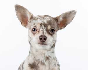 Lilac merle chihuahua dog on white background looking at camera