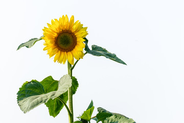 photo of sunflower with isolated background