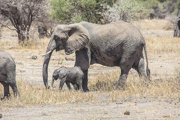 Elephants Mother and calf Serengeti 3461