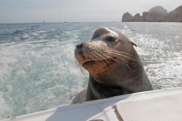 Fototapeta premium Sea Lion z tyłu czarterowej łodzi rybackiej błagający o przynętę w Cabo San Lucas Baja Mexico BCS