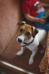 Little cute puppy breed Jack Russell Terrier sits on the couch and looks at the camera. On the back of the blurry terms, the figure of the child. A vertical image. No face.