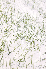 Grass in snow. White background. Green sprouts