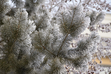 Fluffy spruce branches. White frost. Naturalness