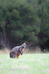 Sumpfwallaby (Wallabia bicolor) auf Phillip Island, Victoria, Australien.