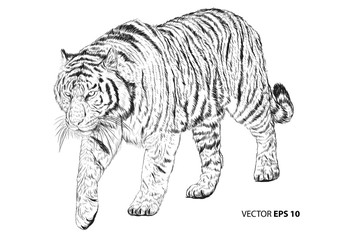 Tiger walking hand draw sketch black line on white background vector illustration.