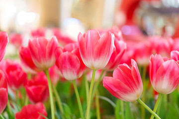 Beautiful Red Tulips, Flower background