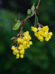 Yellow flowers clusters on blooming Common or European Barberry, Berberis Vulgaris, macro with raindrops, selective focus, shallow DOF