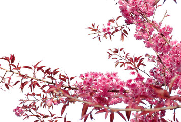 Pink purple flowers isolated white background
