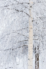 Birch tree at winter covered in frost snow