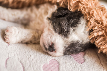 cute black and white puppy sleeping on a pink mat with hearts under brown soft rug