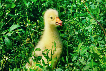 A small goose in the green grass.