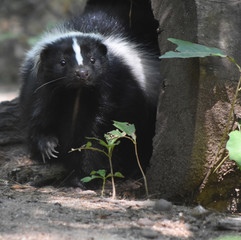 Adorable Black and White Face of a Skunk