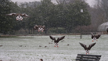 Atterrissage d'oies cendrées, Parc de La Tête d'Or, Lyon