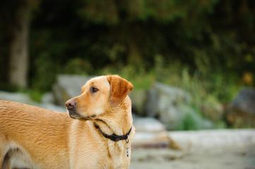 Yellow Labrador Retriever dog outdoor portrait in nature