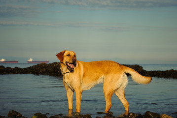 Yellow Labrador Retriever dog outdoor portrait standing by water