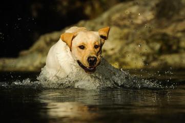 Yellow Labrador Retriever dog outdoor portrait jumping through water