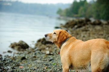 Yellow Labrador Retriever dog outdoor portrait at rocky beach
