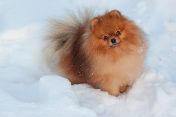 Beautiful pomeranian puppy is standing in a white snow. Pet animals.