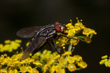Housefly is sitting on a small yellow flowers. Animals in wildlife.