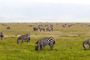 African Zebra Herd