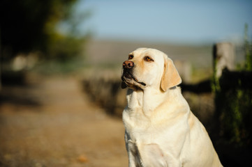 Yellow Labrador Retriever outdoor portrait sitting along fenced walking path