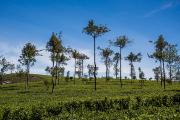 Beautiful green tea plantation in Sri Lanka