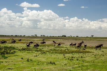 African Wilder Beasts