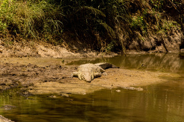 African Nile Crocodile on Sandbank