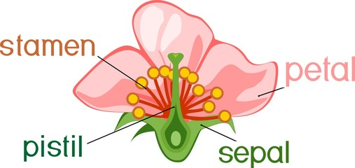 Parts of flower with titles. Cross section of typical angiosperm flower